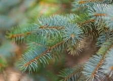 Несколько молодых ветвей спруса сини Стоковые Изображения RF
