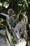 Несколько обезьян в парке Стоковая Фотография