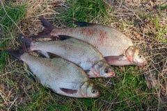 Несколько общих рыб леща на зеленой траве Заразительный пресноводный fi Стоковые Изображения RF