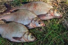 Несколько общих рыб леща на зеленой траве Заразительный пресноводный fi Стоковые Изображения