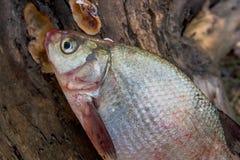 Несколько общих рыб леща на зеленой траве Заразительный пресноводный fi Стоковые Фотографии RF