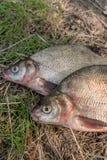 Несколько общих рыб леща на зеленой траве Заразительный пресноводный fi Стоковое Изображение RF