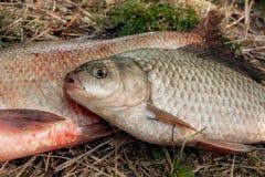 Несколько общих рыб леща, crucian рыбы или карась на natu Стоковое Изображение RF