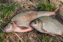 Несколько общих рыб леща, crucian рыбы или карась на natu Стоковые Фотографии RF