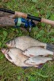 Несколько общих рыб леща, crucian рыбы или карась, рыбы плотвы Стоковая Фотография RF