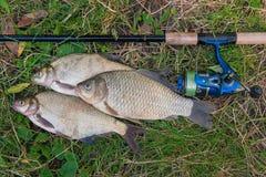 Несколько общих рыб леща, crucian рыбы на естественном backgroun Стоковые Изображения
