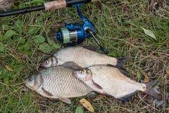 Несколько общих рыб леща, crucian рыбы, рыбы плотвы, суровые рыбы Стоковое Изображение