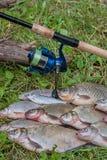 Несколько общих рыб леща, crucian рыбы, рыбы плотвы, суровые рыбы Стоковое Фото