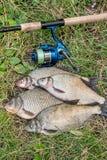 Несколько общих рыб леща, crucian рыбы, рыбы плотвы, суровые рыбы Стоковые Изображения