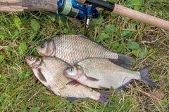 Несколько общих рыб леща, crucian рыбы, рыбы плотвы, суровые рыбы Стоковое фото RF