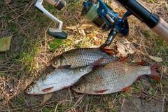 Несколько общих рыб плотвы на зеленой траве Заразительный пресноводный fi Стоковое Фото