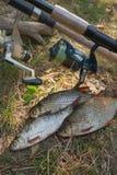 Несколько общих рыб плотвы на зеленой траве Заразительный пресноводный fi Стоковые Фотографии RF