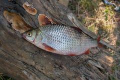 Несколько общих рыб плотвы на зеленой траве Заразительный пресноводный fi Стоковые Изображения
