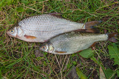 Несколько общих рыб плотвы на зеленой траве Заразительный пресноводный fi Стоковое Изображение RF