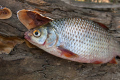 Несколько общих рыб плотвы на зеленой траве Заразительный пресноводный fi Стоковые Изображения RF