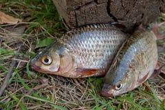 Несколько общих рыб плотвы на зеленой траве Заразительный пресноводный fi Стоковое Изображение