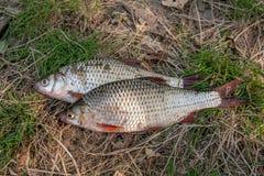 Несколько общих рыб плотвы на зеленой траве Заразительный пресноводный fi Стоковая Фотография RF