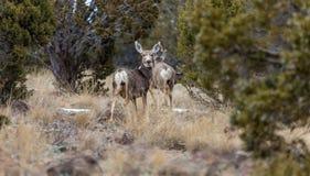 Несколько оленей осла Стоковое Фото