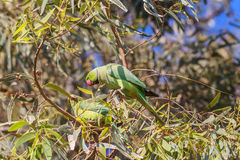 Несколько Роза-окружённый длиннохвостый попугай (krameri ожерелового попугая) Стоковые Изображения
