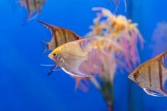 Несколько рыб scalare треугольника форменных Стоковые Фотографии RF
