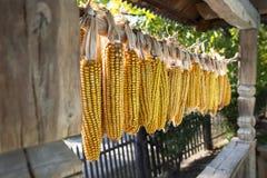 Несколько стержней кукурузного початка Стоковая Фотография RF