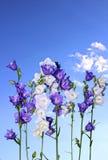Несколько фиолетовых и белых цветков колокола Стоковое Изображение RF