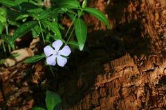 Несовершеннолетний барвинка, барвинок в глубоком лесе стоковые фотографии rf