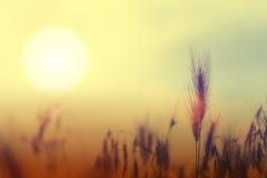 Несосредоточенная рожь на заходе солнца Стоковое Изображение RF