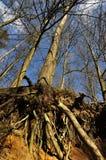 Несуразный корень Стоковая Фотография