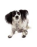 Несчастная смотря смешанная Papillon собака породы стоковые изображения rf