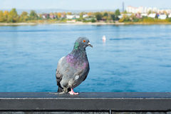 Несчастный одичалый голубь с сломленной ногой Стоковая Фотография RF