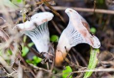 Несъедобный гриб в древесинах в природе Стоковое Изображение RF