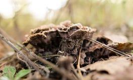Несъедобный гриб в древесинах в природе Стоковое Изображение