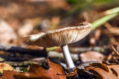 Несъедобный гриб растя в лесе во время осени Стоковые Изображения RF
