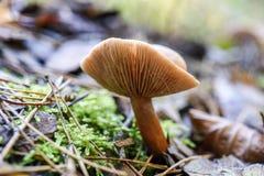 Несъедобный гриб растя в лесе во время осени Стоковые Фото