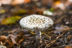Несъедобный гриб растя в лесе во время осени Стоковое Изображение RF