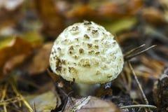 Несъедобный гриб растя в лесе во время осени Стоковые Изображения