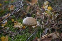 Несъедобный гриб Стоковые Фотографии RF