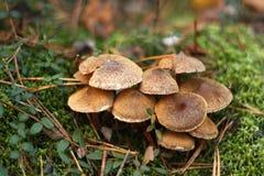 Несъедобные грибы леса Стоковая Фотография
