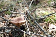 Несъедобный гриб в ветвях Стоковые Фото