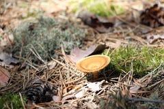 Несъедобный гриб в лесе Стоковая Фотография
