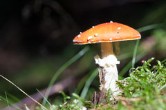Несъедобный гриб в крупном плане травы Мухомор Стоковые Изображения