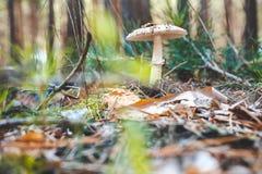Несъедобный гриб растет белым в древесинах Стоковая Фотография