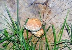 Несъедобный гриб Стоковые Изображения RF
