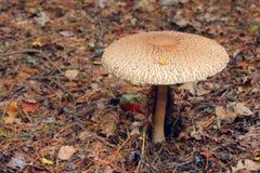 Несъедобный гриб toadstool Стоковое фото RF
