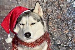 Неудовлетворенная собака породы сибирской лайки сидит в Санта Клаусе стоковые фотографии rf