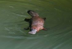 Неуловимой австралийской platypus представленное счет уткой, Квинсленд Стоковые Фотографии RF