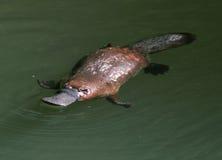 Неуловимой австралийской platypus представленное счет уткой, Квинсленд Стоковые Фото