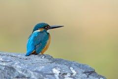 Неупотребительная красота kingfisher общего atthis alcedo Стоковые Изображения