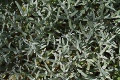 Неурожайный chickweed Стоковые Фото